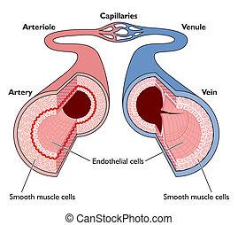 anatomie, het bloedvatenstelsel