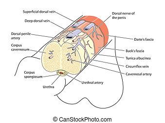anatomie, piemel