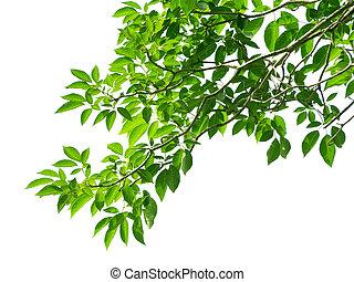 bladeren, groen wit, achtergrond