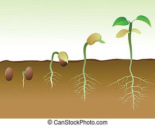boon, squence, zaad, germination