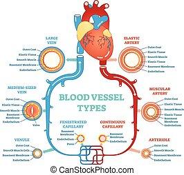 circulatory, diagram, onderwijs, system., medisch, anatomisch, bloedader, types, information., scheme.