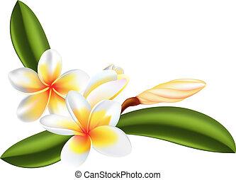 frangipani, bloem, of, plumeria