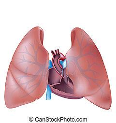 gedeelte, hart, longen, kruis