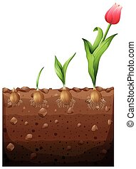 groeiende, tulp, ondergronds