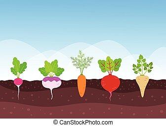 groente, groeiende, root-crops, tuin