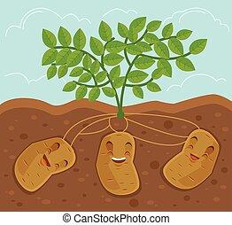 grown, ondergronds, aardappel