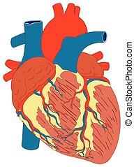 hart, anatomie, diagram, menselijke spier, structuur