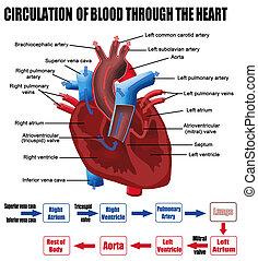 hart, door, bloed, circulatie