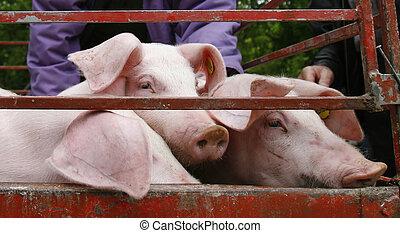 huiselijk, varkensvlees, landbouw, dier, varken