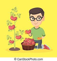 jongen, weinig; niet zo(veel), tomatoes., farmer, kaukasisch, oogst
