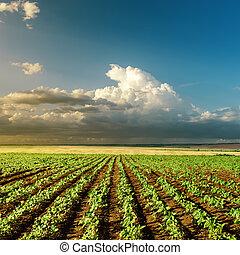 landbouw, groene, zonsondergang veld