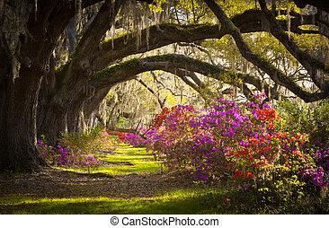 lente, spaanse , eik, bomen, plantatie, leven, azalea, mos, bloeien, sc, charleston, bloemen, bloemen