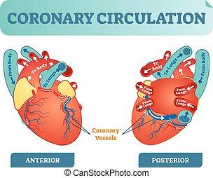lichaam, hart, circulatie, longen, diagram, gedeelte, body., stroom, kruis, illustratie, back, anatomisch, geëtiketteerde, vector, door, bloed, circuit, coronair, scheme.