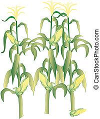 maïs cob, illustratie, stengels