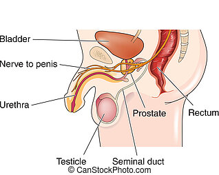 mannelijke , reproductief
