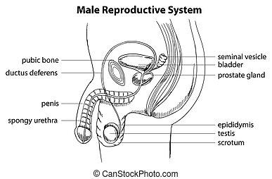 mannelijke , systeem, reproductief