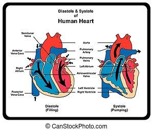 menselijk, systole, hart, diastole, diagram