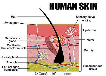 menselijke huid