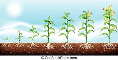 ondergronds, koren, groeiende