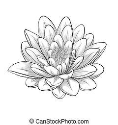 stijl, bloem, lotus, vrijstaand, geverfde, grafisch, black , witte
