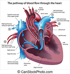 stroom, door, bloed, hart