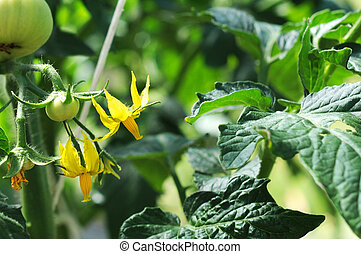 tomaat plant, jonge, groene, bloesems, vruchten, kleine