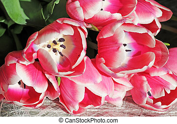 tulpen, ondiep, dof, witte , open, rood