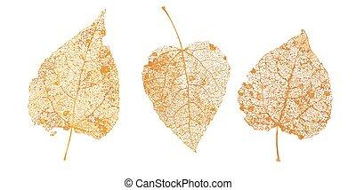 vector, bladeren, birch., designs., natuurlijke , esp, gouden, skeletons., set, herfst, illustratie, gevallen, gebladerte, blad