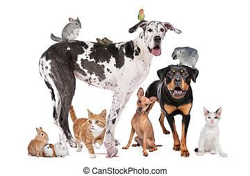 voorkant, achtergrond, huisdieren, witte
