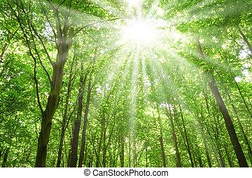 zonlicht, bos, bomen